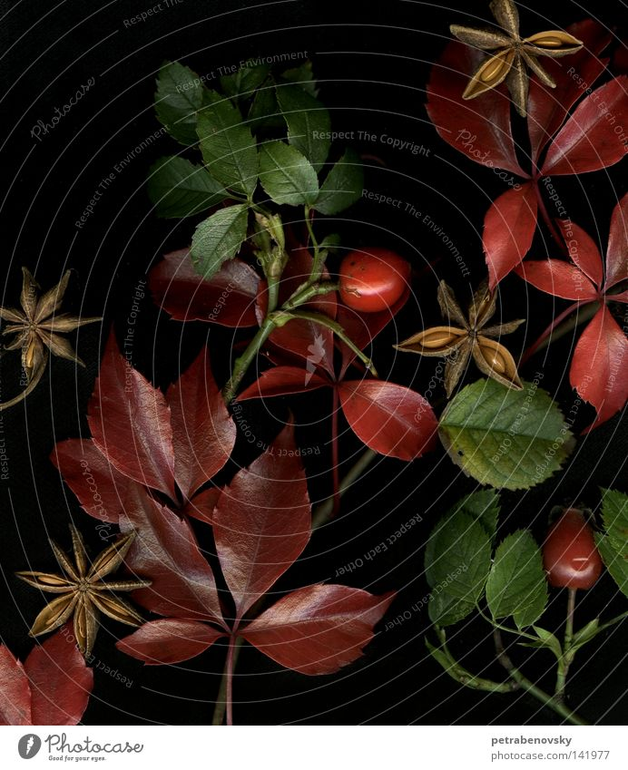 autumn feelings Red Autumn leaves Still Life Green Leaf aniseed Medicinal plant Weed Dog rose