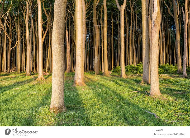 Ghost forest in Nienhagen Relaxation Vacation & Travel Nature Landscape Tree Forest Green Romance Idyll Tourism coastal forest Mecklenburg-Western Pomerania
