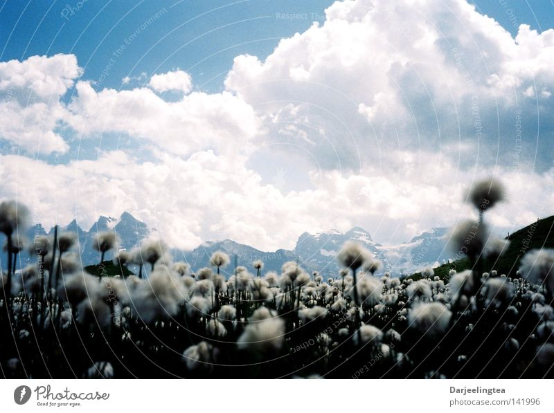 flower mountains Clouds Meadow Flower Blossom White Switzerland Mountain Sky Blue Alps