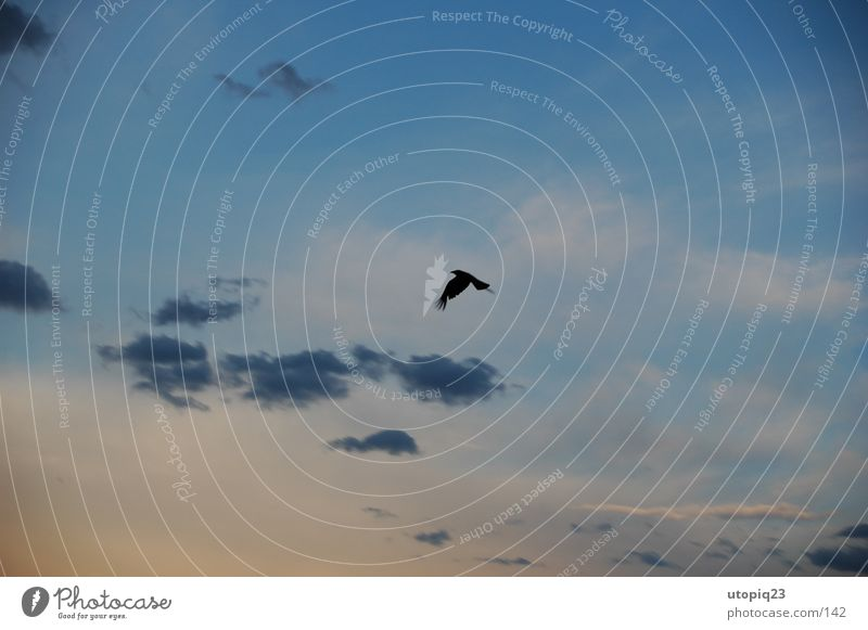 Sky Clouds Bird Flying Aviation Wing Crow Glide