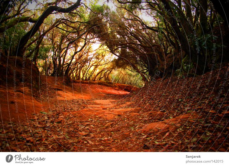 Has anyone seen my breadcrumbs? Virgin forest Forest Red Green Ground Tree Lanes & trails Footpath Bushes Tenerife Dark Dim Witch Witch's house Africa Earth