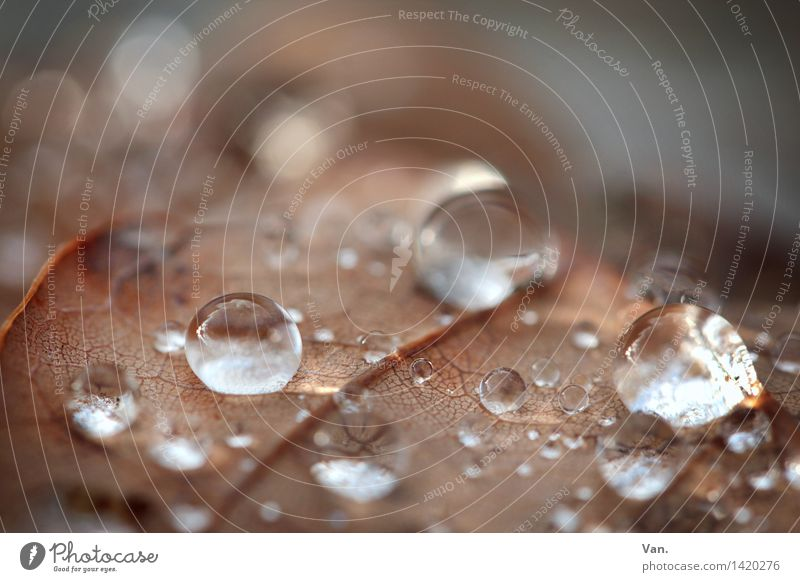 round thing Nature Water Drops of water Autumn Rain Leaf Dew Fresh Wet Brown Glittering Illuminate Colour photo Subdued colour Exterior shot Close-up Detail