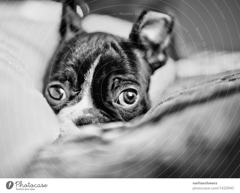 Boston Terrier Puppy Animal Pet Dog 1 Baby animal Relaxation Lie Looking Sleep Sadness Friendliness Happiness Healthy Small Natural Curiosity Cute Black White