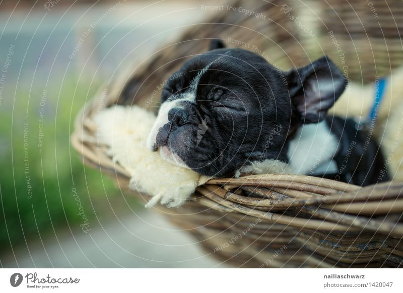 Boston Terrier Puppy Animal Pet Dog 1 Baby animal Relaxation Driving To enjoy Lie Sleep Dream Small Natural Cute Beautiful Joy Love of animals Peaceful