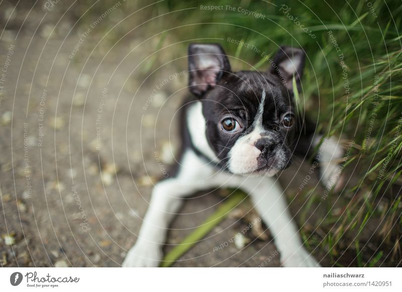Boston Terrier Puppy Joy Playing Trip Animal Spring Flower Meadow Pet Dog 1 Observe Discover Going Looking Small Curiosity Cute Green Black White Happiness
