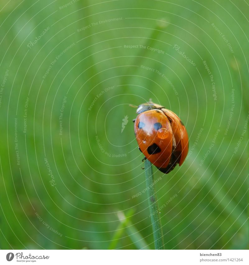 Ladybird looks around Grass 1 Animal Flying Crawl Green Red Rain Wing Blade of grass Point Exterior shot Close-up Macro (Extreme close-up)