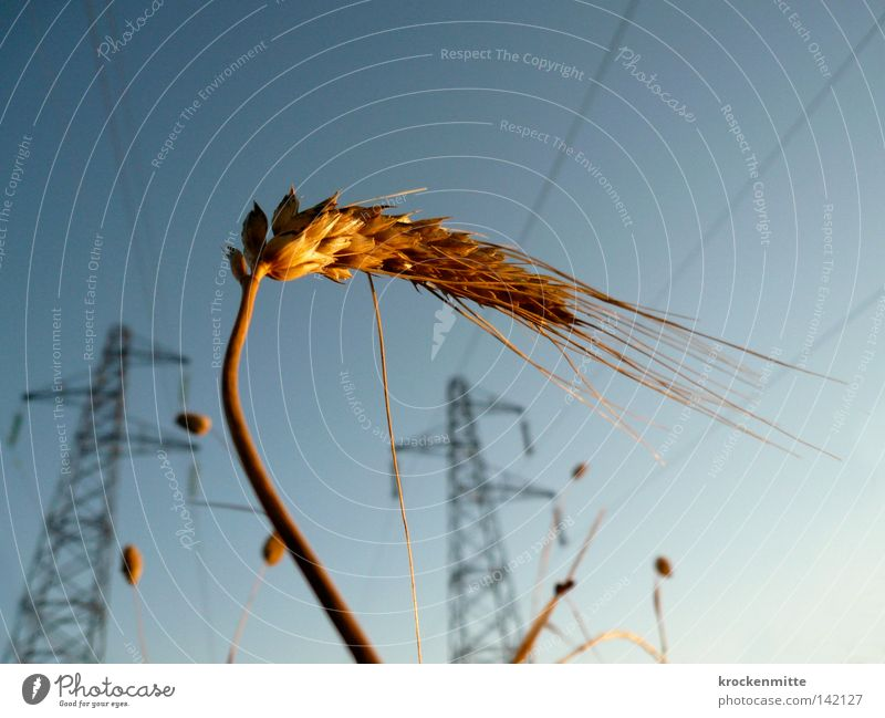 cornforce Wheat Grain Grain alcohol Electricity Energy Power Transmission lines Electricity pylon Cable Sunrise Ear of corn Agriculture Agricultural crop