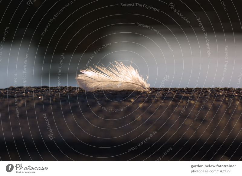 Water Loneliness Angel Feather Footbridge Doomed Animal Downy feather Malfunction