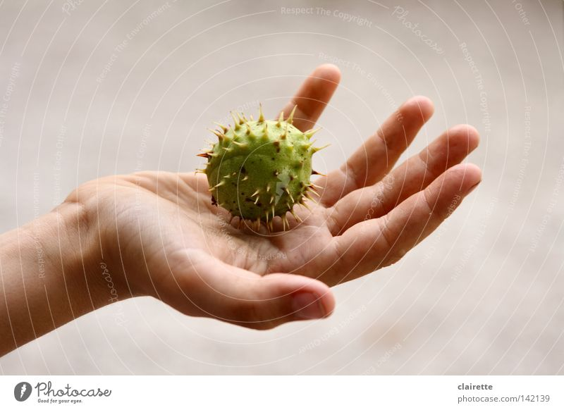 Youth (Young adults) Hand Green Autumn Point Ball Massage Thorny Medical treatment Pierce Chestnut tree Children`s hand