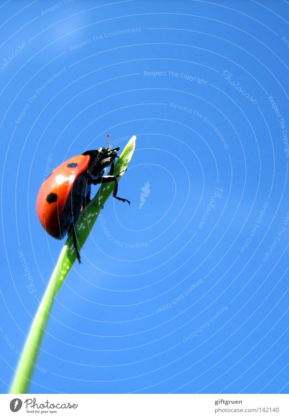 extreme climber Ladybird Blade of grass Grass Turn back Come Mountaineering Bow Sky Top Macro (Extreme close-up) Close-up Extreme sports Beetle Point Climbing