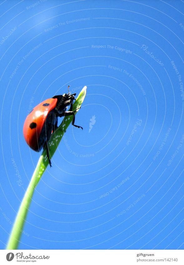 Sky Above Grass Tall Dangerous Climbing To fall Point Point Top Upward Blade of grass Come Mountaineering Ladybird Beetle