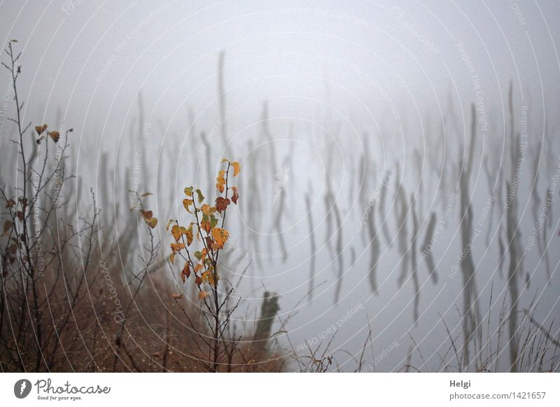 Helgiland II, mysterious. Environment Nature Landscape Plant Water Autumn Fog Grass Bushes Leaf Wild plant Tree trunk Bog Marsh Old Stand To dry up Growth
