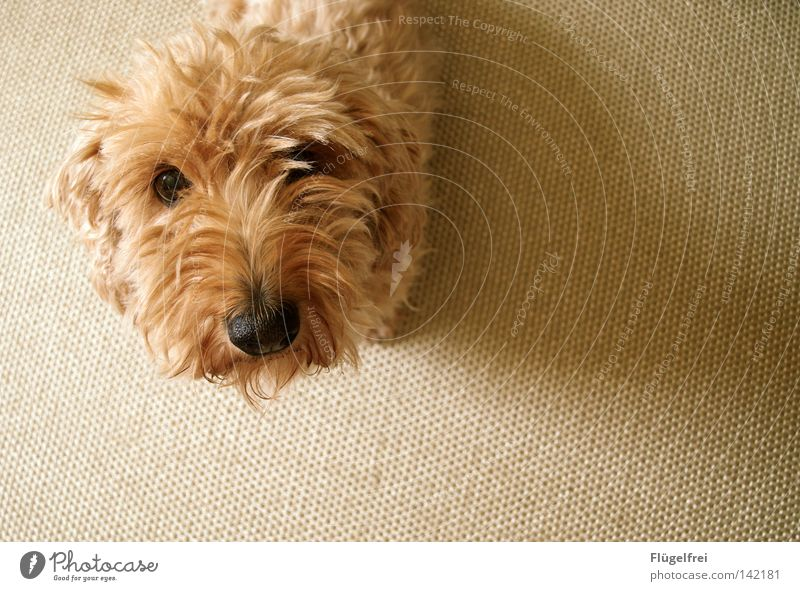Dog Animal Eyes Small Nose Cute Desire Curiosity Animal face Appetite Discover Long-haired Mammal Carpet Beige Snout