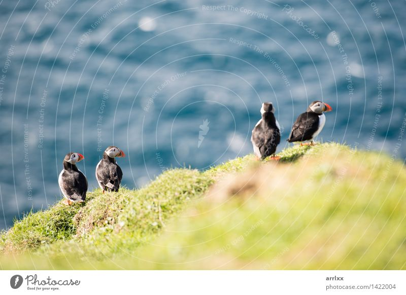 Atlantic puffins, Fratercula arctica Nature Blue White Ocean Animal Black Grass Natural Funny Bird Wild Feather Cute Living thing Beak Bank note