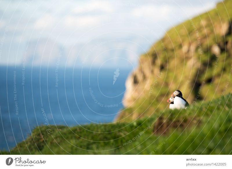 Atlantic puffins, Fratercula arctica Ocean Nature Animal Grass Bird Funny Natural Cute Wild Blue Black White Puffin Feather colourful Living thing fratercula