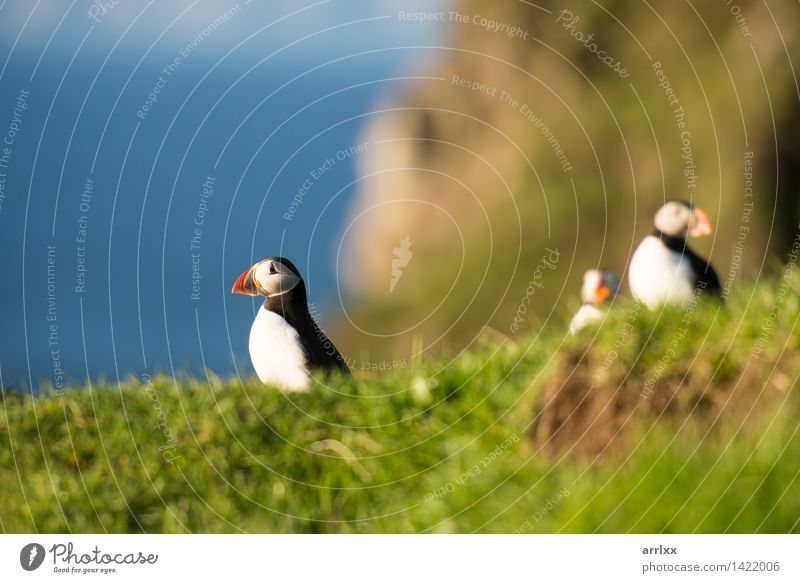 Atlantic puffins, Fratercula arctica Ocean Nature Animal Grass Bird Funny Natural Cute Wild Blue Black White Puffin Feather Living thing fratercula plumage