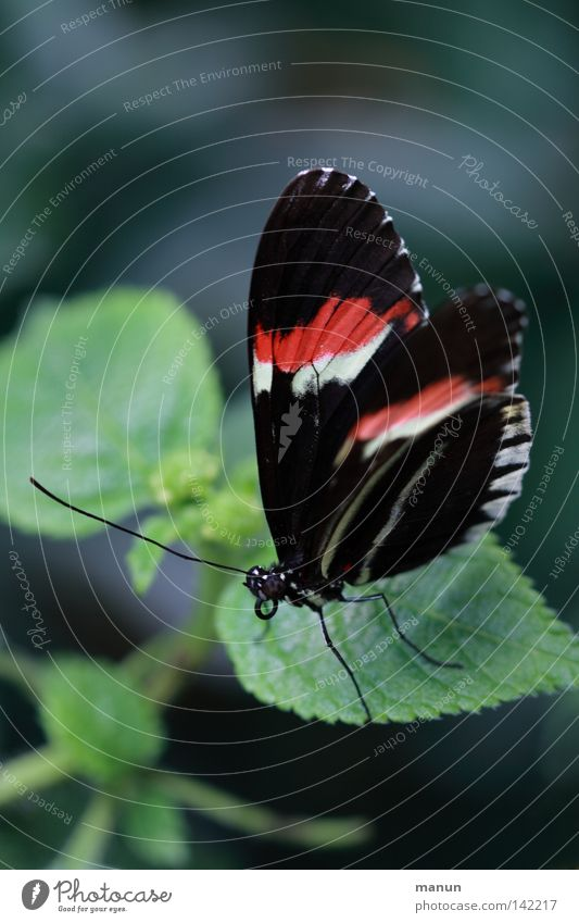 papillon Butterfly Flying animal Compound eye Trunk Feeler Flower Blossom Red White Black Striped Large Small Summer Plant Animal Dipterous Insect Delicate Easy