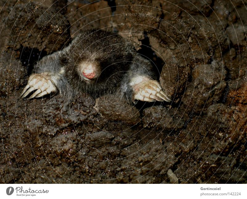 Moin Moin Nature Animal Earth Wild animal Animal face Pelt Claw Paw Curiosity Cute Brown Mole Dig Mammal Blind Underground Pests Look out Emerge Snout Hollow