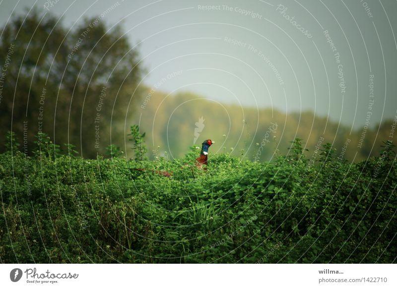 Nature Green Landscape Wild animal Bushes Gamefowl Stinging nettle Pheasant Pheasant family