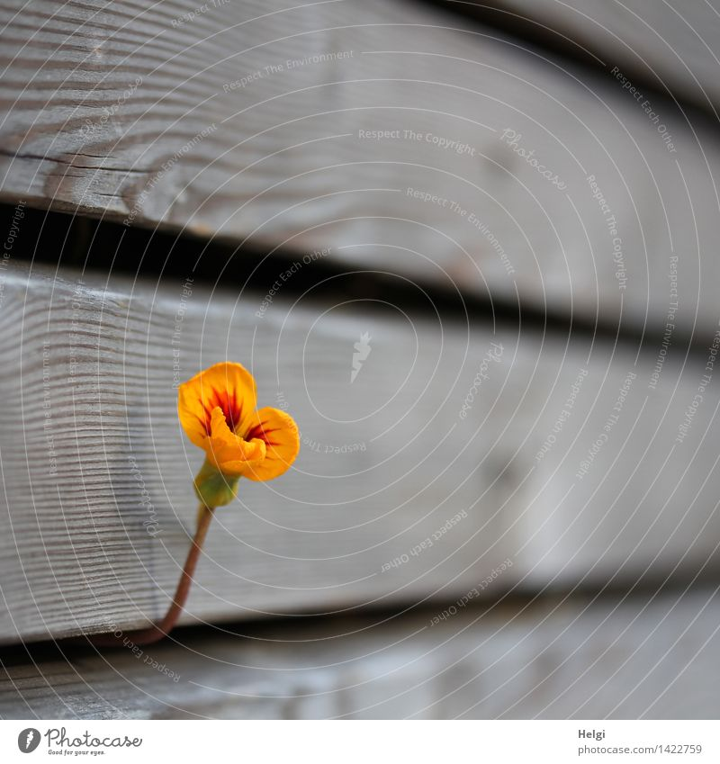 hold on... Nature Plant Autumn Beautiful weather Blossom Nasturtium Garden Wall (building) Wood Blossoming Growth Authentic Exceptional Simple Uniqueness Small