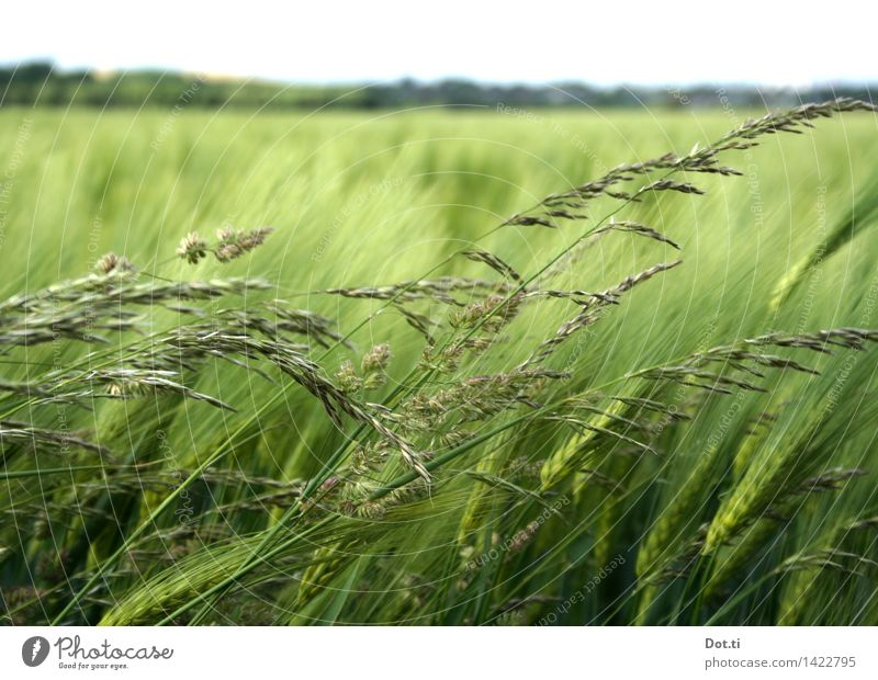Barley green Nature Landscape Plant Sky Horizon Wind Agricultural crop Field Green Agriculture Grain Sowing Blade of grass Colour photo Exterior shot Deserted