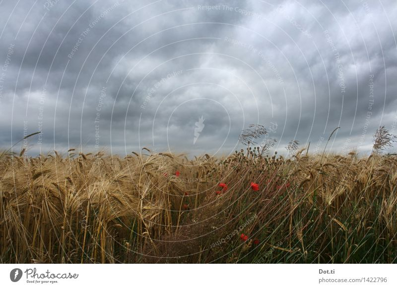 Barley ripe Nature Plant Clouds Storm clouds Summer Bad weather Wind Gale Agricultural crop Field Threat Dark Agriculture Mature Poppy Sowing Colour photo