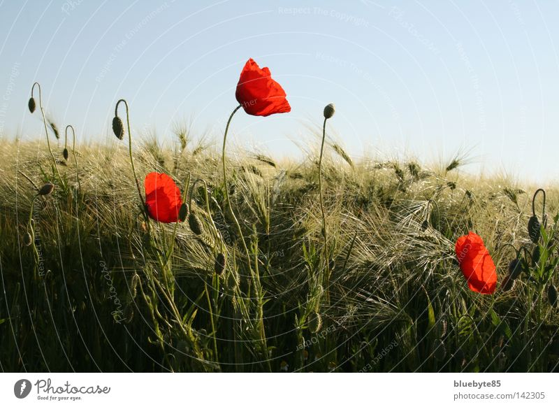 Poppies and more Poppy Corn poppy Grain Barley Red Sky Field Ear of corn Flower Summer