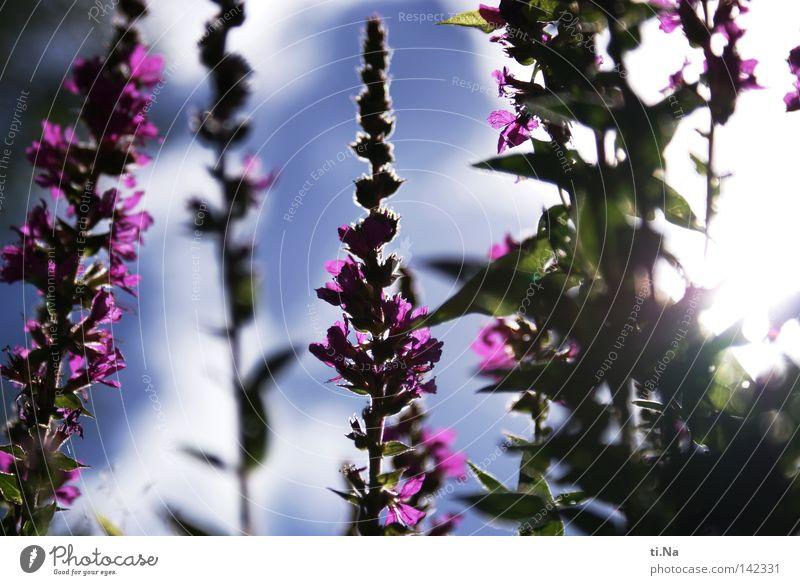 Sky Plant Summer Flower Blossom Violet