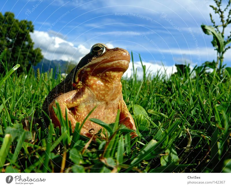 Grass frog : The true king looks into the land Amphibian Frogs Rana Jump Looking Discover Brown Green Blue Sky Meadow Alps Austrian Alps German Alps Swiss Alps