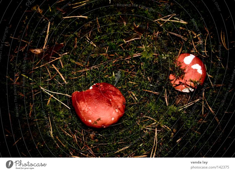 poor yield Mushroom Woodground Autumn Poisonous plant Growth Ground Brown Leaf Moss Fir needle 2 poisonous mushroom mossy Nutrition In pairs Stand