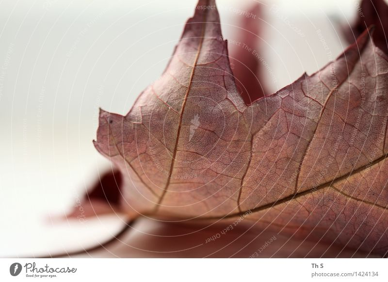 leaf Nature Plant Autumn Winter Leaf Faded Esthetic Authentic Simple Elegant Natural Brown White Serene Patient Calm Design Uniqueness Harmonious Beautiful