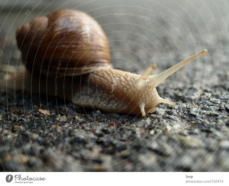 Nature Animal Street Park Landscape Brown Asphalt Living thing Snail Tar Snail shell Vineyard snail Air-breathing land snail