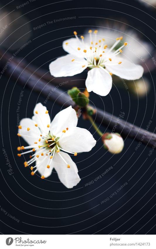 plum blossom Nature Plant Spring Tree Blossom Fruit trees Plum Plum blossom Plum tree Meadow Natural Yellow Orange White white blossom Colour photo