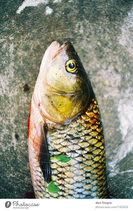 Death Stone Fish Analog Pighead