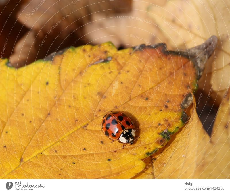 Helgiland II Beetle... Environment Nature Plant Animal Autumn Leaf Ladybird 1 Crawl Lie To dry up Authentic Beautiful Uniqueness Small Natural Brown Yellow Red