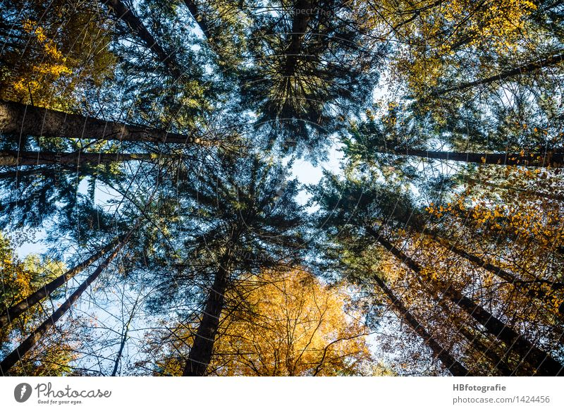 treetops Environment Nature Landscape Plant Autumn Tree Deciduous tree Coniferous trees Forest Yellow Gold Force Calm Growth Ambitious Aspire Peak Treetop
