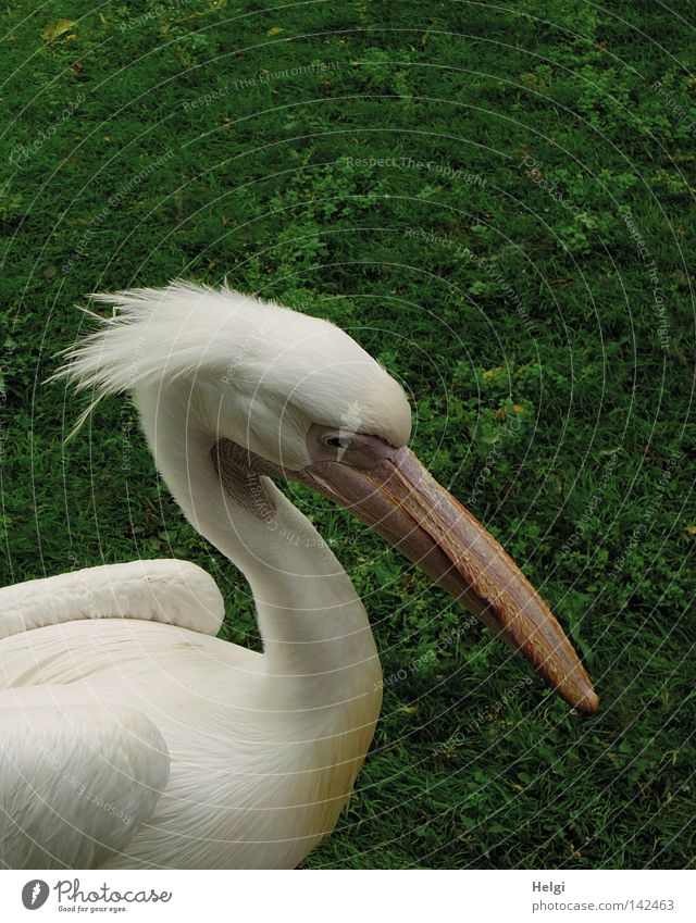 fuzzy Pelican Bird Duck birds Web-footed birds Animal Feather Plumed Soft Head Neck Beak Antlers Throat pouch Eyes Looking Wing Forehead To feed Nature Zoo