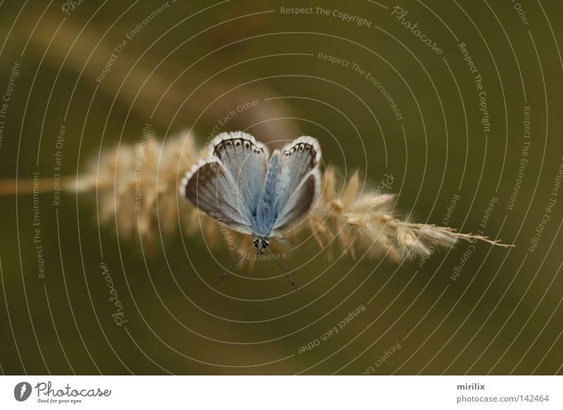 starting position Butterfly Blue Blur Ear of corn Blade of grass White Feeler Polyommatinae accentuated silvery green