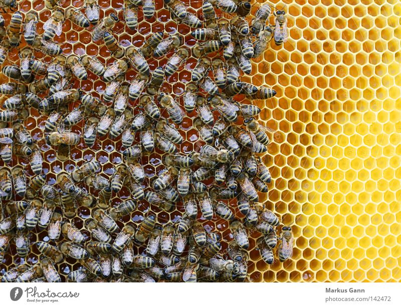 bees Bee Honey-comb Honeycomb Peoples King Pollen Sweet Wing Sit Yellow Compound eye Summer Sprinkle Insect Spine Flock pollination
