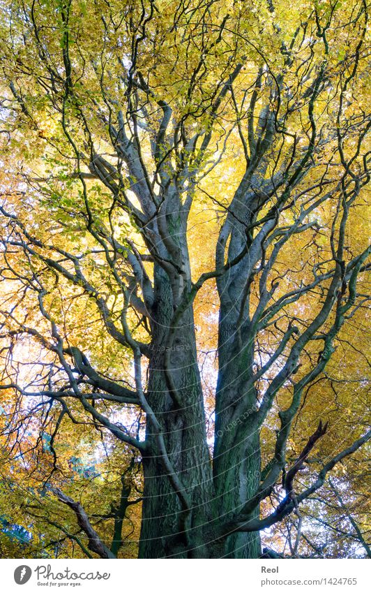Nature Plant Tree Leaf Forest Environment Yellow Autumn Natural Growth Illuminate Gold Beautiful weather Elements Tree trunk Symmetry