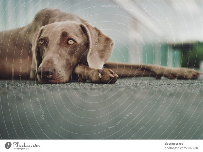 as days pass by. Beautiful Animal Dog Lie Cute Boredom Fatigue Weimaraner Hound Analog Mammal tia Wait Colour photo Subdued colour Exterior shot