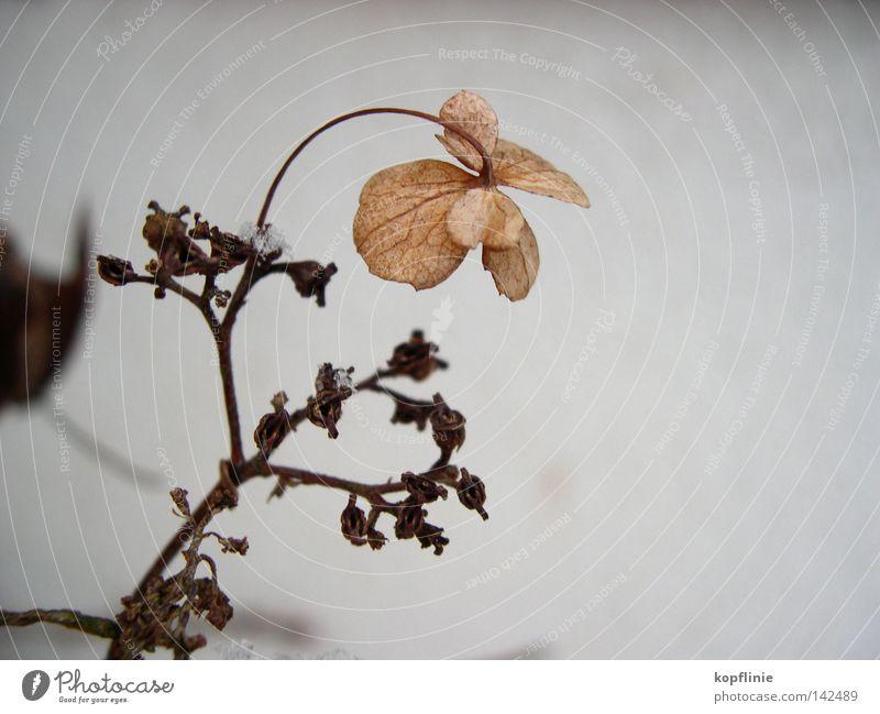 Flower in frost Blossom Winter Dried Impression Hydrangea garden horticulture Twig Snow