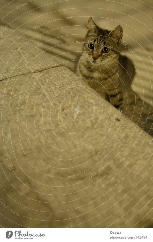 Cat Street Gray Italy Pet Mammal Domestic cat Hung-over Kitten Dubrovnik