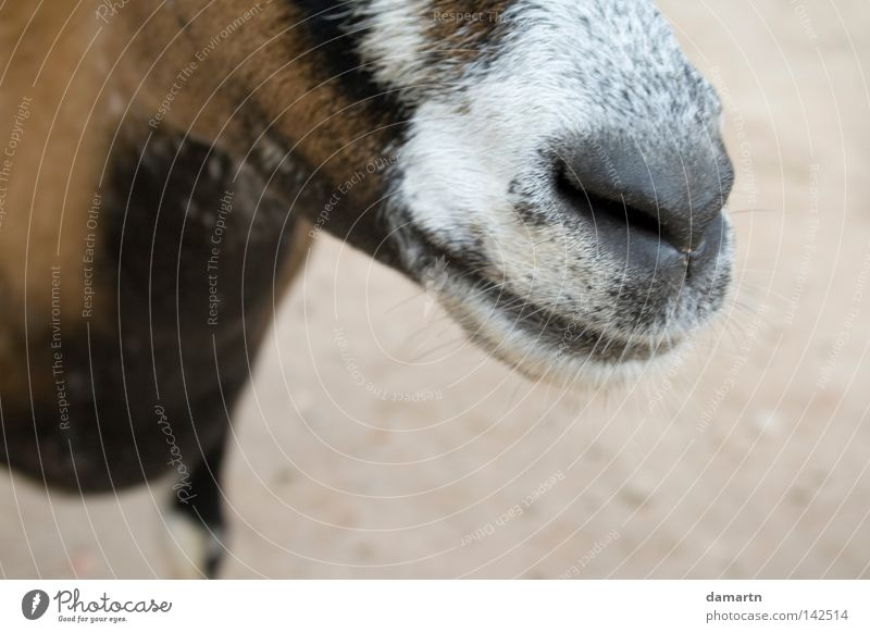 The right nose Goats Snout Zoo Animal Odor Laughter Mammal Nose
