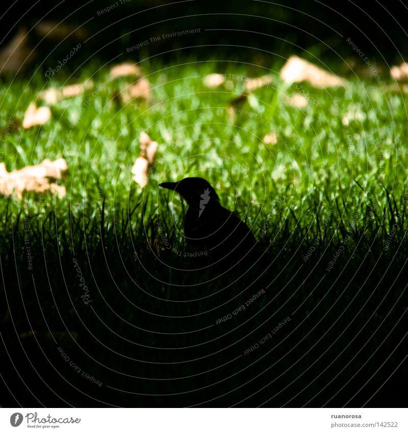 Merula Animal Bird Grass Park Summer Shadow Green Leaf Day Lawn