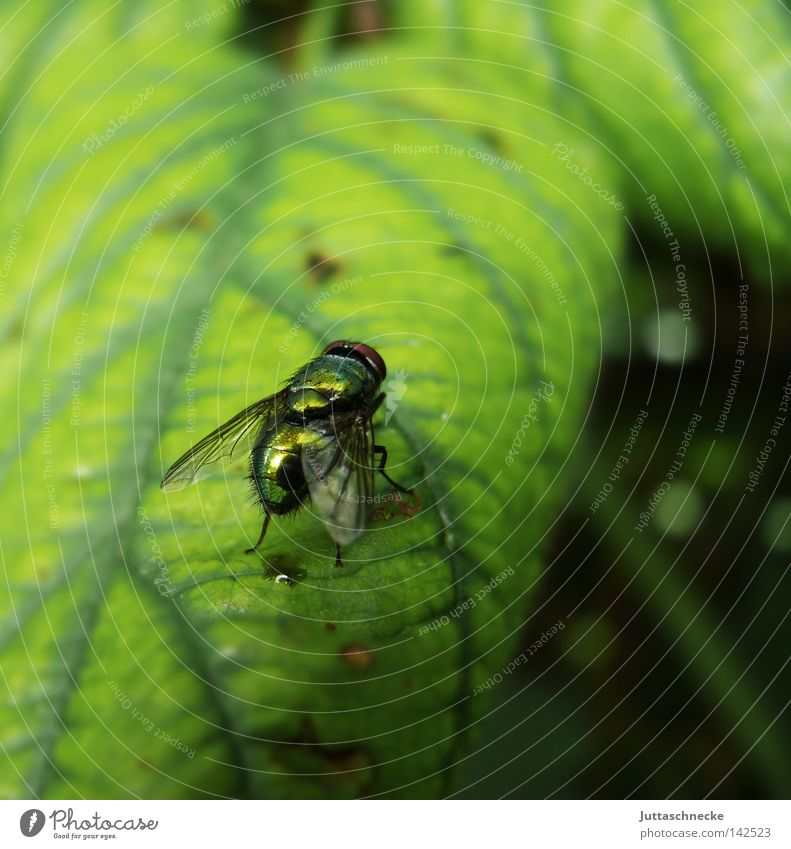 puck Fly Insect Leaf Green Glittering Sit Flesh fly Nature Wing Science & Research Summer bothersome Juttas snail Exterior shot