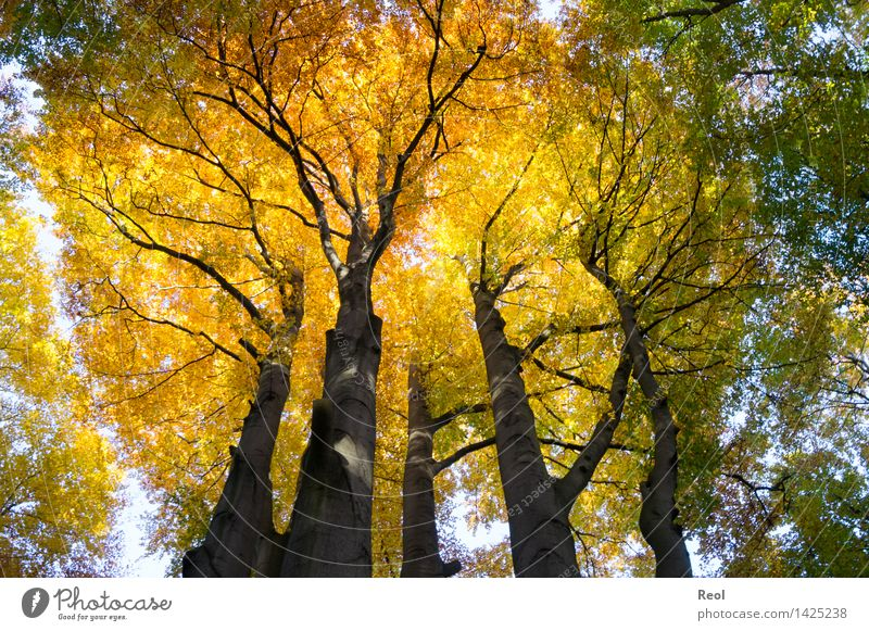 crown Environment Nature Landscape Elements Sunlight Autumn Beautiful weather Plant Tree Wild plant Treetop Leaf canopy Beech tree Tree trunk Forest Beech wood