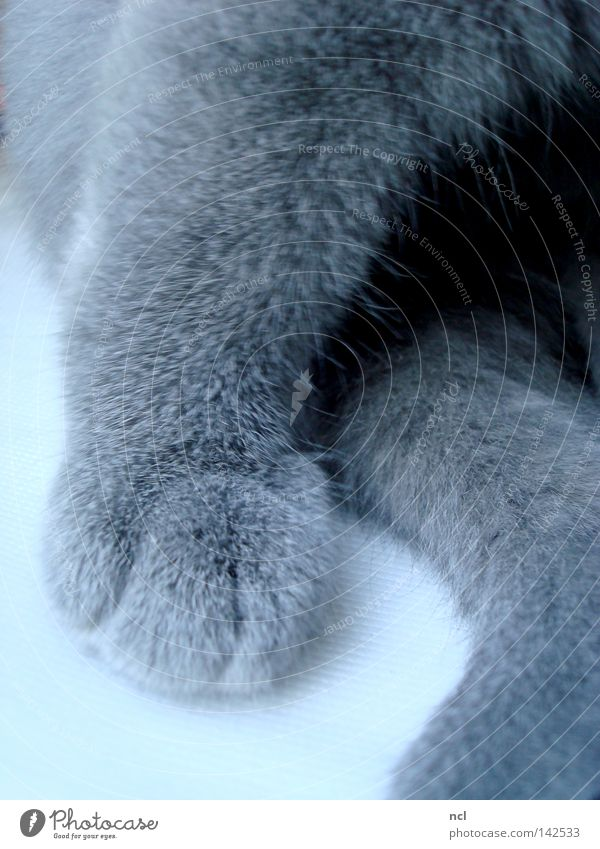fleece paw Cat Domestic cat Kitten Paw Tails Fleece Pelt Soft Claw Gray Blue Mammal putty fuzzy