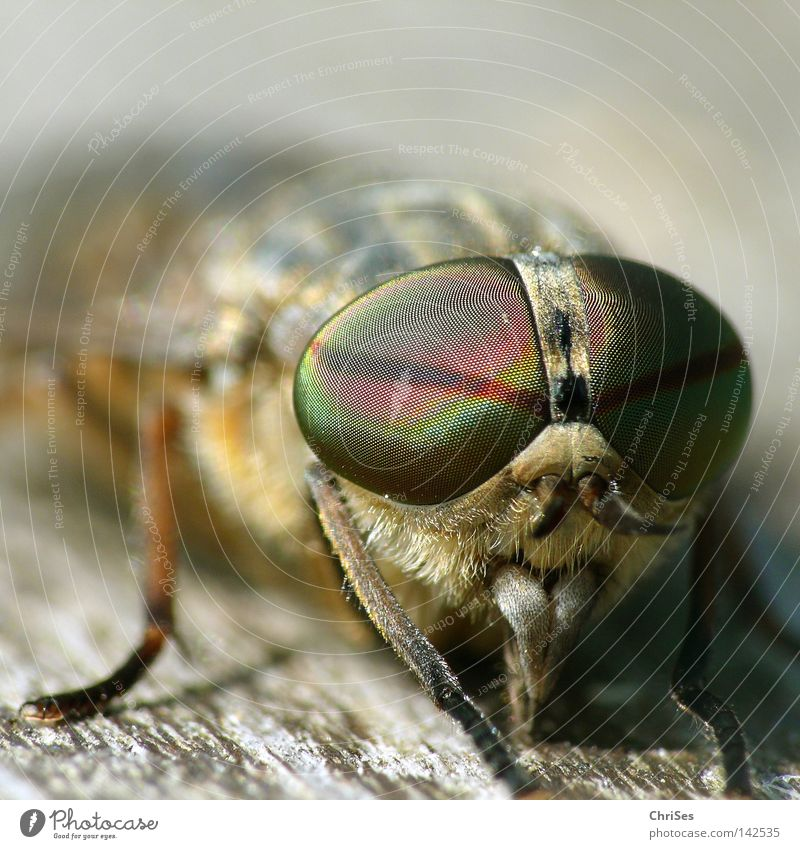 Animal Eyes Wood Gray Brown Fear Fly Drinking Insect Wooden board To feed Blood Panic Pierce Mosquitos