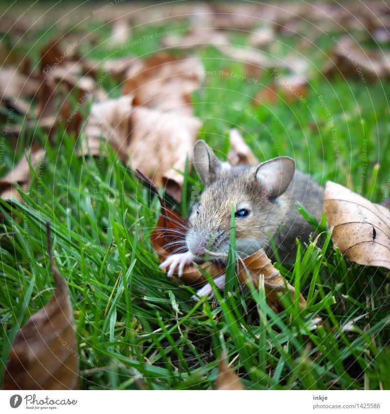 little mouse, sat alone Nature Autumn Grass Autumn leaves Leaf Garden Park Meadow Animal Wild animal Mouse Animal face 1 Crouch Small Near Cute Restful